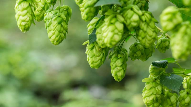 The Complete Guide to Growing Hops At Home